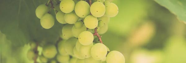 "Wine grape ""Sauvignon Blanc"""